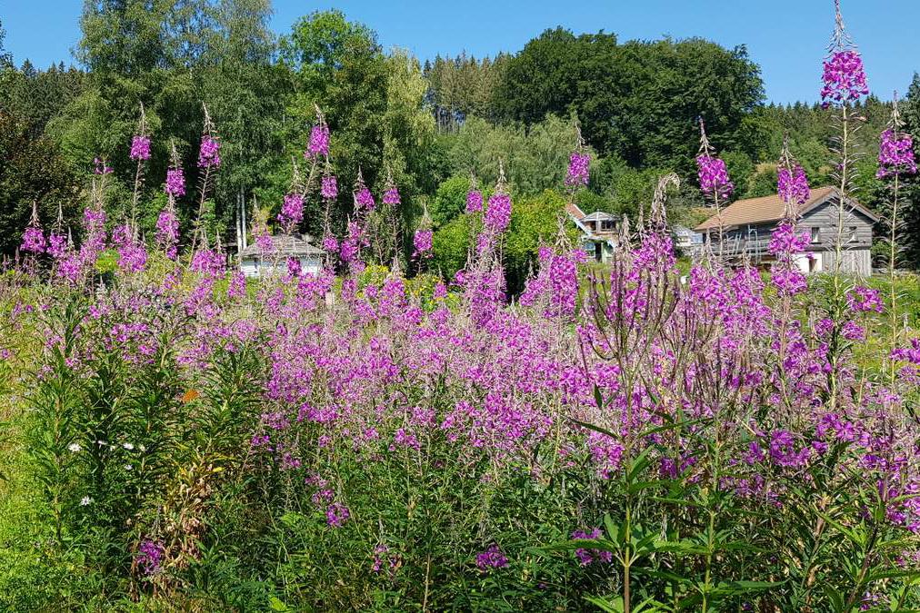 fleurs violettes dans le jardin berchigranges